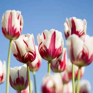 How to grow tulips indoors, Greenhouse?