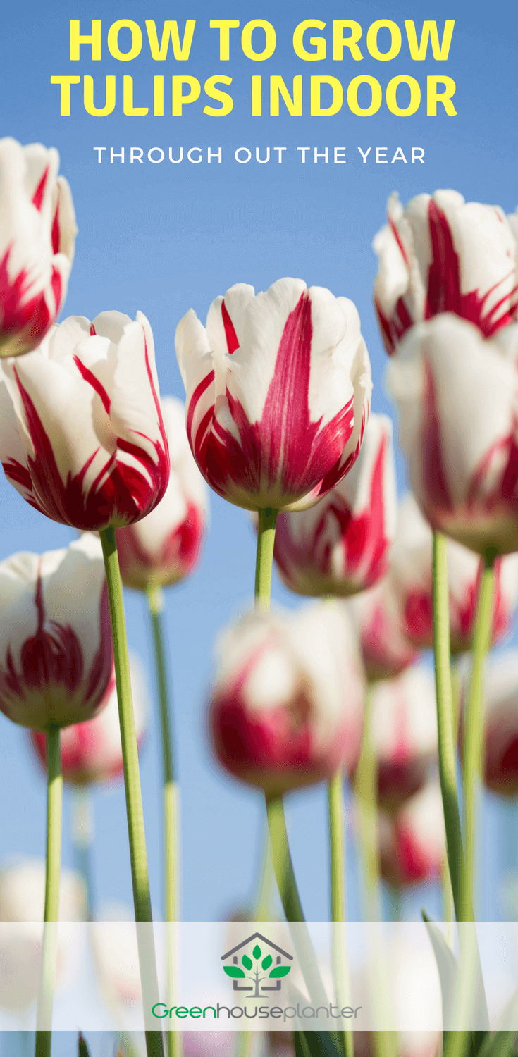 how to grow tulips indoors, greenhouse.