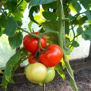 when-to-grow-tomatoes-in-an-unheated-greenhouse-fe