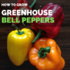 Grow Bell Peppers in Greenhouse | Greenhouse Bell Peppers Guide