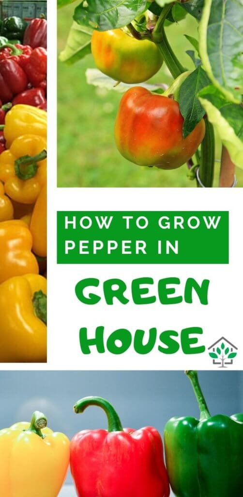 How to grow bell peppers in greenhouse, Greenhouse bellpeppers guide (7)