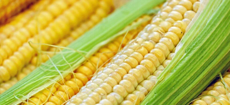 How to grow corn in greenhouse, Green house corn guide (2)