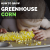 How to Grow Sweet Corn in Greenhouse | Greenhouse Corn Guide