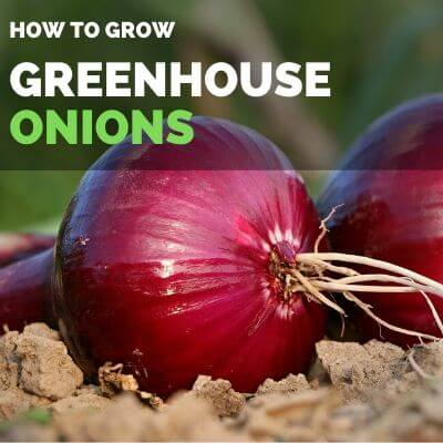 How to grow onions in your greenhouse, GREENHOUSE ONIONS