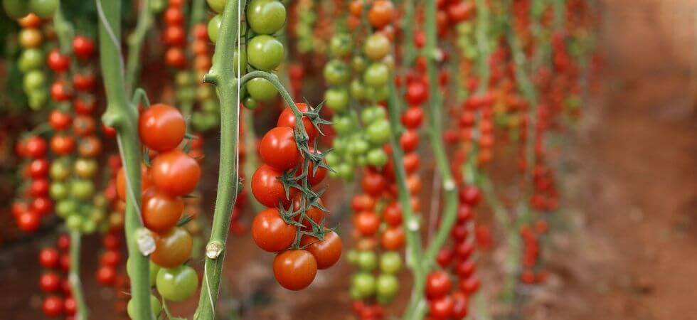 grow tomatoes inside greenhouse greenhouse tomatoes guide
