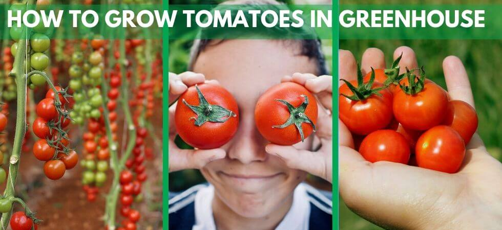 grow tomatoes inside greenhouse greenhouse tomatoes guide (7)