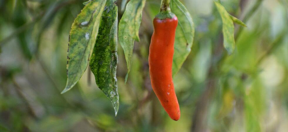 Chili pepper in chilli pepper plant. How to grow