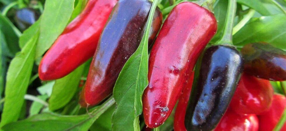 Chili peppers in plant