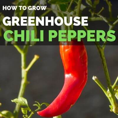 How to grow bell peppers in greenhouse