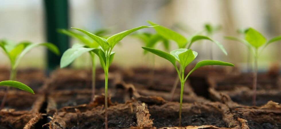 How to grow chili pepper seedlings