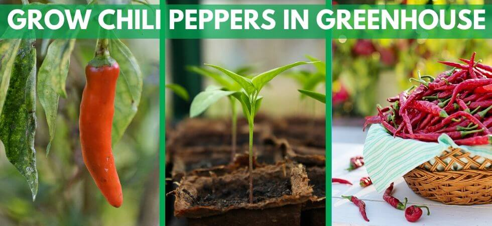 How to grow chili peppers inside greenhouse