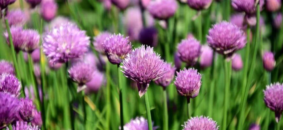 How to grow chives inside your hoop house