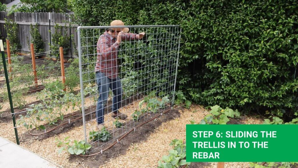 sliding the greenhouse trellis through the rebar