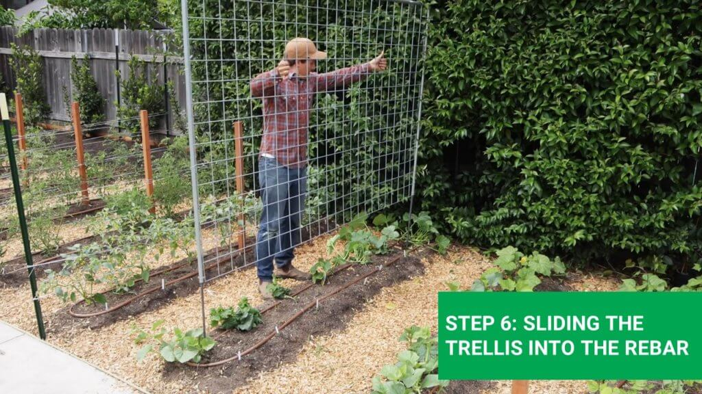 sliding the greenhouse trellis trought the rebars